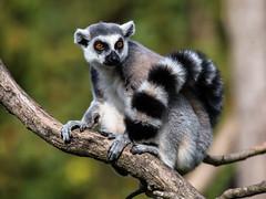 The Observer (++sepp++) Tags: augsburg bayern deutschland de zoo bavaria germany tierpark tier katta animal tierfotografie tieraufnahme lemurcatta lemuren lemuriformes