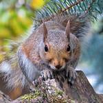 Brown Squirrel thumbnail