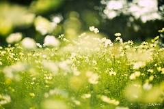 KEN_0448 (KenPhotographys) Tags: travelphoto travelasia travelphotograhy travelworld travel travelthejapan traveljapan tokyo landscape seetheworld snapshot snap scenery shinjuku shibuya flower flowers sky skyporn bluesky sunset cosmos