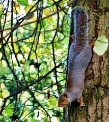 Just Hangin' (Dieseldog05) Tags: squirrel tree leaves bark grey panasonic lumix fz200