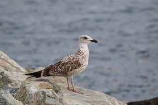 Gabbiano reale (Larus michahellis) , nato nell'anno      Y.L. Gull (michahellis), juv.