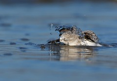MRC_4619 Correlimos-Dunlin (Obsies) Tags: swimming water sports waders limicolas sea funny
