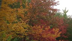 """Local """"Fire"""" - IMGP6496 (catchesthelight) Tags: trees fall foliage fallfoliage leaves colorchange marsh marshmaples nh autumncolors autumn"""