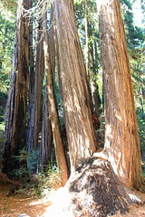 (CAYphotos) Tags: muirwoods redwoods nationalpark millvalley trees