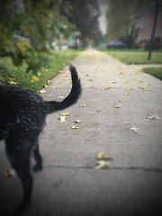 Puppy Parts (Lucyrk in LA) Tags: iphone iphones chicagoland mutt love november chicagoist fall cute dogs dog dof outdoors outside walk dogwalk lucyrendlerkaplan 2016 lucyrkinla desi desirendlerkaplan pet beloved tush chicagolandtail chicagoreader wbez consumerist