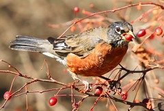 American robin eating crabapple at Lake Meyer Park IA 854A7565 (lreis_naturalist) Tags: american robin eating crabapple lake meyer park winneshiek county iowa larry reis
