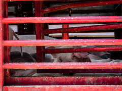 Pork-to-be (Al Fed) Tags: 20160905 croatia farmer hr2016 market sestanovac swine pig pork goveggie life animal eaten meat crowded cruelty stare creature fellow feeling red slaughter sad sadness itssweetwhyeatit isporktobecapableoffeelings bars