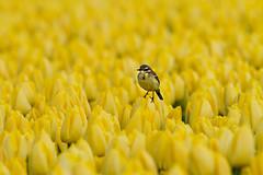 Tulips,tulips,tulips and a yellow wagtail. (-Siep-) Tags: tulpen tulips noordoostpolder gelekwikstaart yellowwagtail