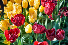 Tres colores - Entrelagos (Norpatagonia - Chile) (Noelegroj (7 Million views+.Thank you all) Tags: chile norpatagonia entrelagos tulipanes tulips flowers flores spring season primavera colorful colorido