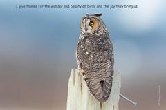 Happy Thanksgiving (Tony Varela Photography) Tags: longearedowl owl photographertonyvarela asiootus happythanksgiving2016 canon