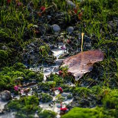 FEUILLE D'AUTOMNE (zventure,) Tags: zventure aube alpesmaritimes automne feuille mousse vermoulu verdure extrieur eau