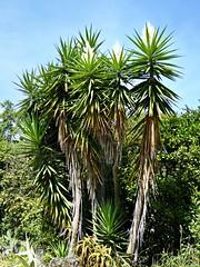 Botanical Garden - Yucca gloriosa (Linda DV) Tags: lindadevolder panasonic geotagged travel portugal porto europe 2016 citytrip oporto ribbet yucca yuccagloriosa asparagaceae
