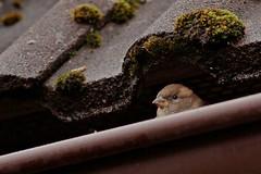 Rolf_Nagel-Fl-6962-Passer_domesticus (Insektenflug) Tags: passerdomesticus housesparrow passer domesticus house sparrow haussperling grspurv sperling spatz vogel vgel bird birds mecklenburg vorpommern mritz