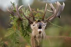 Red Deer (Daniel Trim) Tags: red deer rut bushy park london royal parks wildlife nature animals mammals roaring rutting fighting