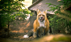 lecker :D ( - Ralf) Tags: fox fuchs wildpark poing tier animal outdoor