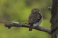 Pigmy Owl (Peter Stahl Photography) Tags: pigmyowl owl argentina patagonia outdoors southamerica