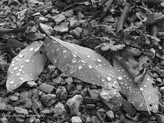IMG_0606 - Version 2 (Sally Knox Sakshaug) Tags: fall autumn october outdoors nature leaf leaves black white blackwhite bw contrast drops water droplet droplets underside dew rain raindrop clinging sit sitting ground stone stones fallen