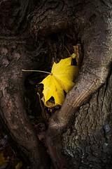 Trunk leaf (vinnie saxon) Tags: leaf treetrunk tree autumn fall yellow detail season closeup