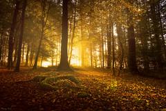 Autumn Light (Tony N.) Tags: belgique belgium wallonie fort bois tombois sunrise autumn automne light lumire soleil sun contrejour againstthelight trees arbres leaves feuilles souche d810 nikkor1635f4 vanguard tonyn tonynunkovics