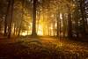 Autumn Light (Tony N.) Tags: belgique belgium wallonie forêt bois tombois sunrise autumn automne light lumière soleil sun contrejour againstthelight trees arbres leaves feuilles souche d810 nikkor1635f4 vanguard tonyn tonynunkovics