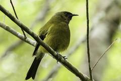 NZ bellbird at Zealandia, Wellington (ROGERBEE.) Tags: wellington newzealand newzealandbirds birds zealandia karori