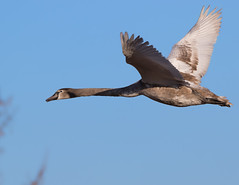 Young Mute Swan (Cygnus olor) (microwyred) Tags: inflight birds wildlife muteswan