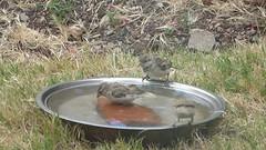 Coming and going (prondis_in_kenya) Tags: kenya nairobi shortrains bird birdbath sparrow garden water drought splash drink video