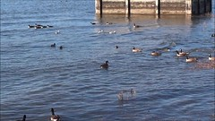Oies - Geese (Jacques Trempe 2,540K hits - Merci-Thanks) Tags: caprouge quebec canada oies geese eau water fleuve river stlaurent stlawrence