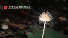 Spinellus fusiger 伞菌霉 小菇伞菌霉 (云中鸟) Tags: beijing baihuashan 北京 百花山 自然保护区 zygomycota 接合菌类 phycomycetaceae
