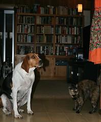 Mary & Hazel (saiberiac) Tags: pets companionanimal animal cat dog hound tortie tortoiseshell treeingwalkercoonhound cute house indoor mary hazel autumn fall november 2016 november2016