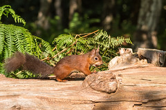 I'm off to bury this! D75_5236.jpg (Mobile Lynn) Tags: nationaltrust rodents wild brownseaisland redsquirrel nature fauna mammal mammals rodentia wildlife purbeckdistrict england unitedkingdom gb