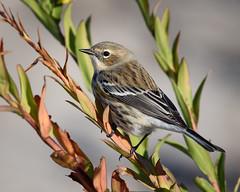 Yellow-rumped Warbler (malarchie) Tags: cavenpoint libertystatepark jerseycity setophagacoronata yellowrumpedwarbler