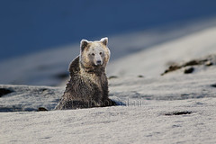 Himalayan  Brown Bear Deosai (Zahoor-Salmi) Tags: zahoorsalmi salmi wildlife pakistan wwf nature natural canon birds watch animals bbc flickr google discovery chanals tv lens camera 7d mark 2 beutty photo macro action walpapers bhalwal punjab