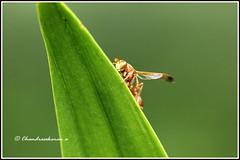 6562 - potter wasp (chandrasekaran a 40 lakhs views Thanks to all) Tags: potterwasp insects india nature chennai macro canon60d tamron90mm