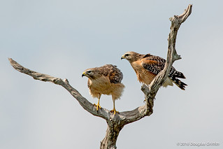 A Brighter Day in Wellington: Red-shouldered Hawk (Buteo lineatus)