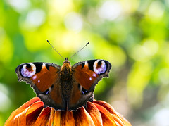 Tagpfauenauge (Danyel B. Photography) Tags: schmetterling butterfly insect insekt macro makro close nah details sharp scharf nature natur dof bokeh outside flying warm september summer sommer colors farben