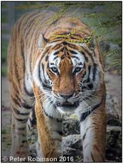 Amur Tiger (Antirrhinum) Tags: marwellzoo amurtiger tiger amur zoo marwell