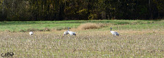 grues2 (neku.chou) Tags: oiseau bird plume haute marne lac du der france migration grues cendre