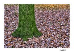 Green trunk (Artico7) Tags: oak moss quercia robinia muschio cerde green colours leafs autumn fall autunno foglie tree albero strong lonely friuli italy garden giardino colori radici roots foot fuji xe1