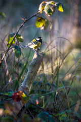Great Tit (Parus major) (Malcolm_Graham) Tags: sandy thelodge