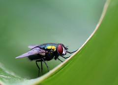Australian Sheep Blowfly (Siene Browne) Tags: insects macro closeup outdoors nature australian sheep blowfly fly diptera