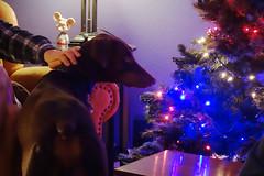 Ben (danieljsf) Tags: doberman dog red pinscher pet