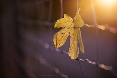 Fotosensibilidad (L.Barrera) Tags: fotosensibilidad leobarrera hmm macromondays macro autumn otoo hoja leaf leaves sunset