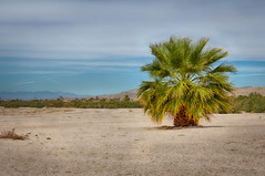 Palm Tree: Salton Sea (Photos By Clark) Tags: california canon2470 canon60d hdr locale location northamerica places postprocess unitedstates where mecca palm tree saltonsea salt belowsealevel deadfish desert water agriculture lightroom nik hdrefx