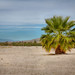 Palm Tree: Salton Sea
