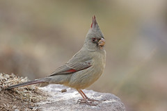 Pyrrhuloxia (Alan Gutsell) Tags: bird alan wildlife nature usa pyrrhuloxia cardinal texasbirds bigbend nationalpark texas