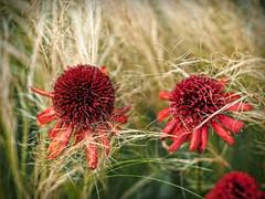 2015-08-08_15-14-00 (torstenbehrens) Tags: olympus pen ep5 mft 45mm nature flora natur
