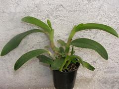 Laelia pumila x dayana coerulea (fedorchids) Tags: x laelia dayana coerulea pumila laeliapumila laeliadayanacoerulea laeliapumilaxdayanacoerulea