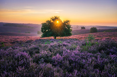 Blooming Heath (albert dros) Tags: netherlands dutch sunrise purple nederland heath blooming albertdros