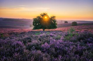 Blooming Heath